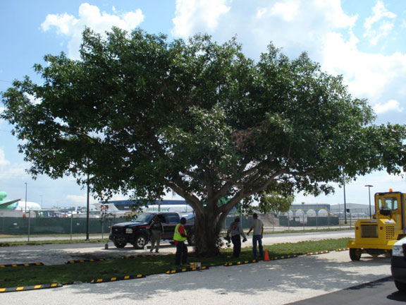 Tree roots can thrive beneath a pervious surface such as Gravelpave2.